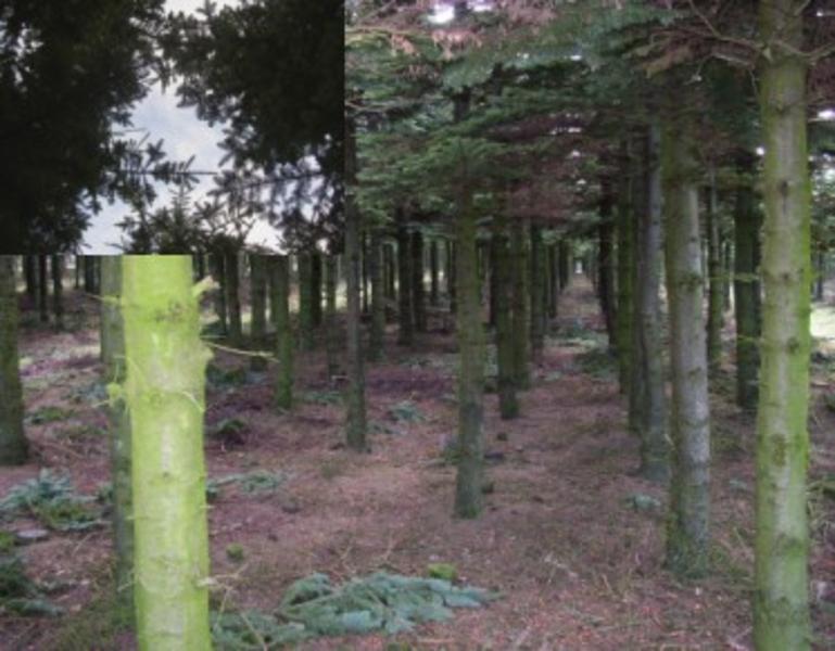 Nobilis træer